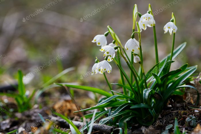 Beautiful blooming of White spring snowflake flowers