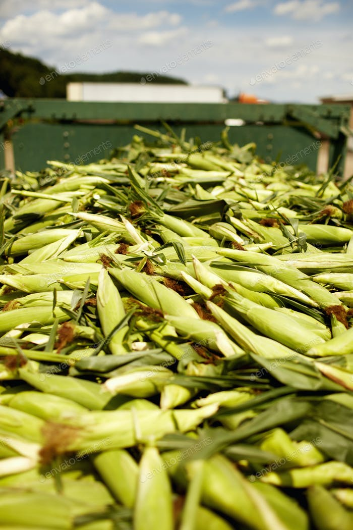 A trailor of harvested corn cobs, corn on the cob. Organic food ready for distribution.