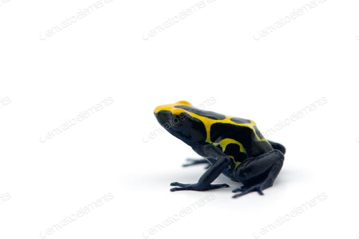 Blue-yellow poison dart frog isolated on white background