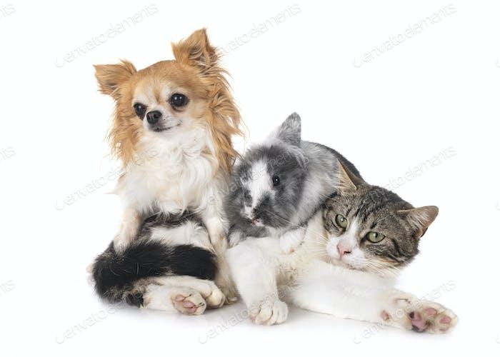 dwarf rabbit, chihuahua and cat
