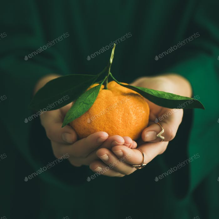 Fresh tangerine citrus fruit in hands of lady, square crop