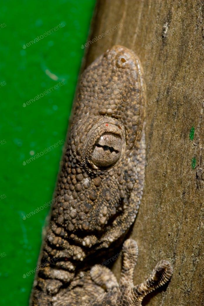 Salamanquesa (Tarentola mauritanica) - Lizard (Tarentola mauritanica)