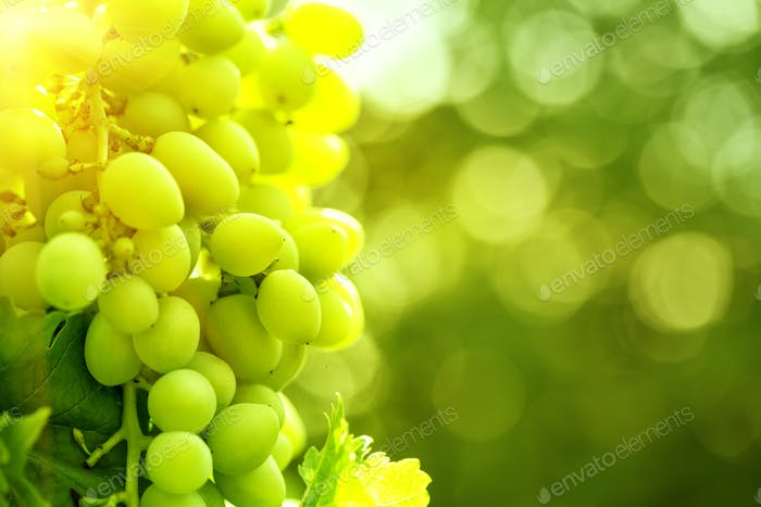 Bunch of ripe juicy grapes on branch in bright sunlight