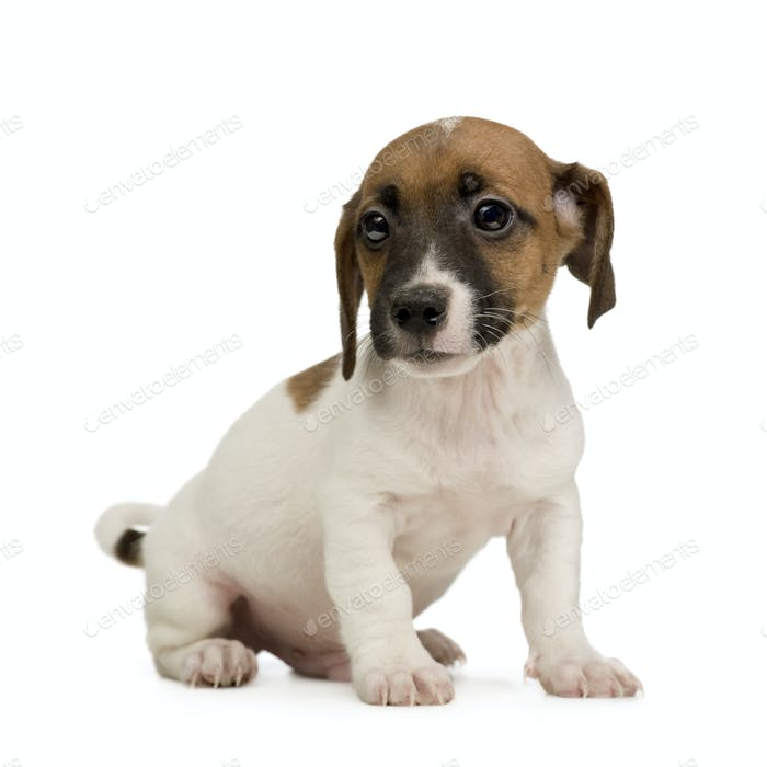 Jack russell ()