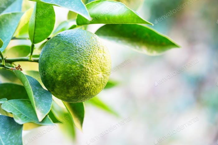 Green tangerine on a branch