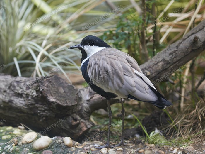 Sporenflügel-Schwingen (Vanellus spinosus)