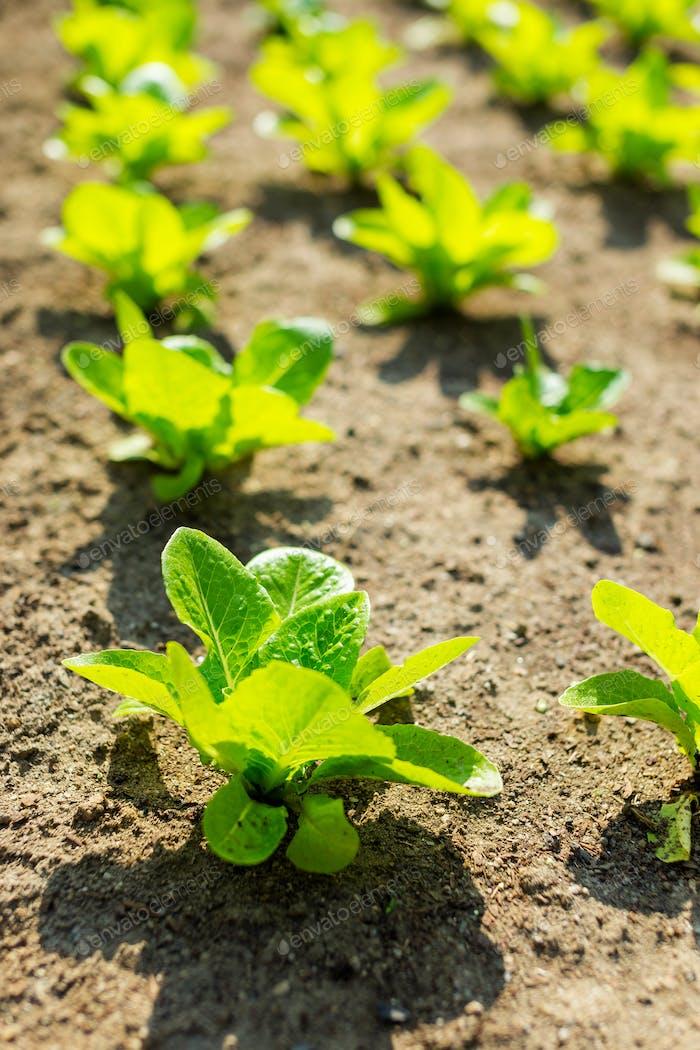Young lettuce in field