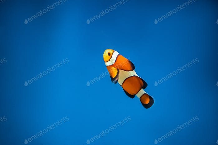 Orange clown fish Amphiprion swims in the blue water.