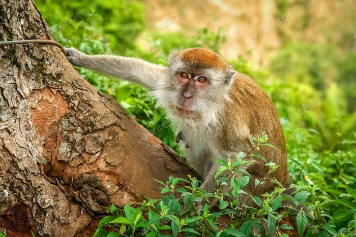 Indonesian Macaque monkey