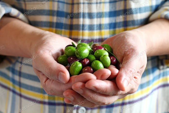 hands holding harvested fresh olives