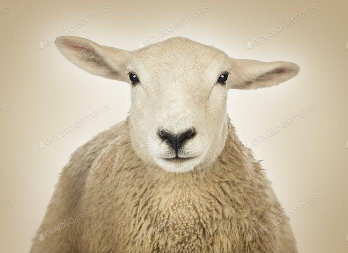 Nahaufnahme eines Schafskopfes vor einem cremefarbenen Hintergrund