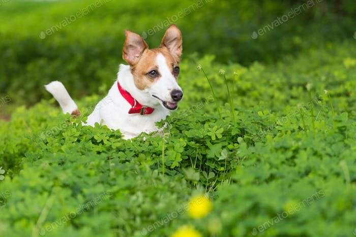 Dog in a clover field
