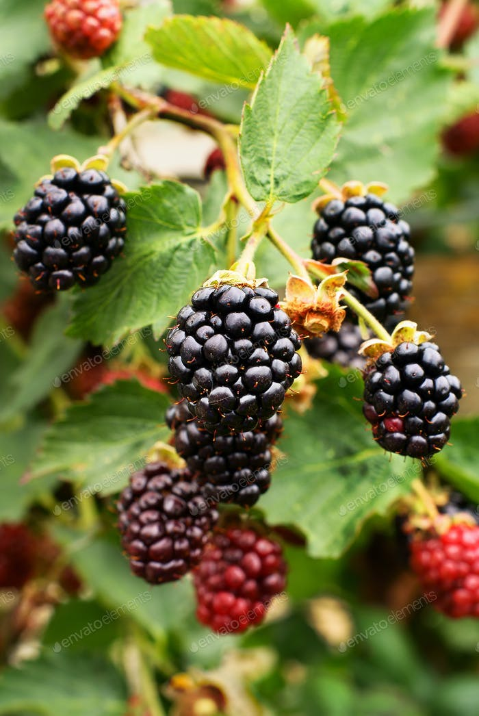 Ripe Blackberries Ready for Picking