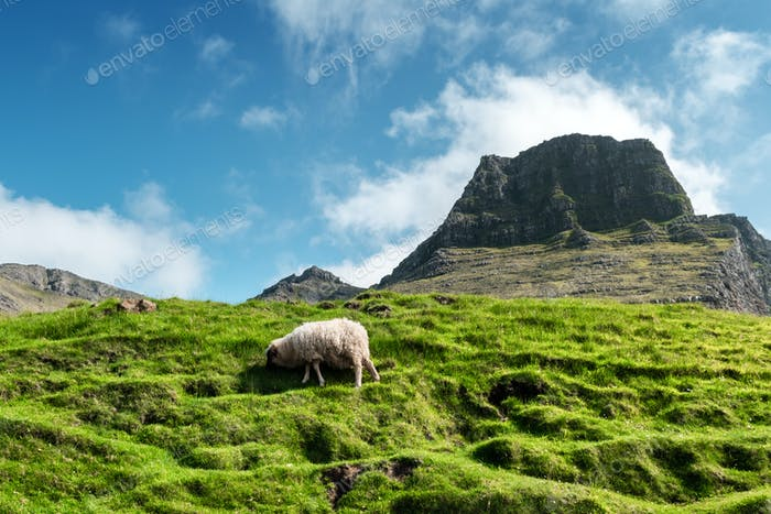 Morning view on the summer Faroe islands with sheep