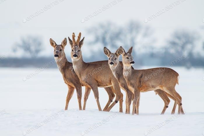 Reh Herde im Winter eng beieinander stehend im Tiefschnee