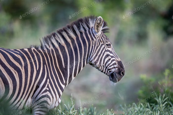 Side profile of a Zebra in the bush.