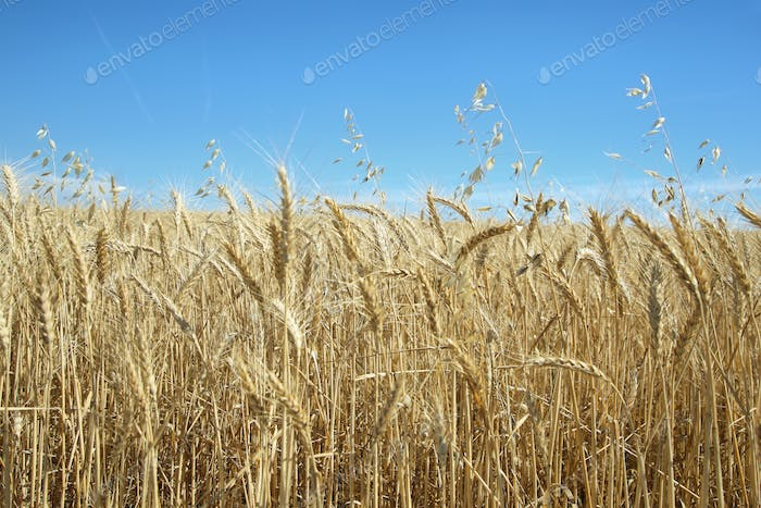 Wheat fields in California