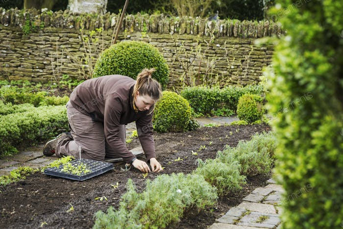 Woman planting seedlings in a bed of soil in a kitchen garden.