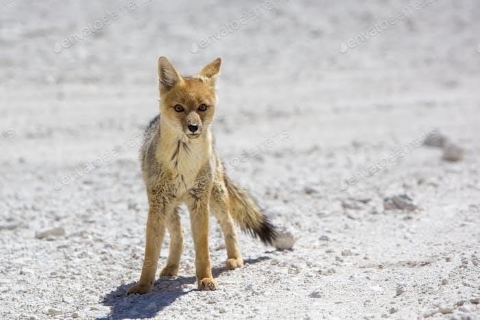 Chile's Andean fox, Atacama desert