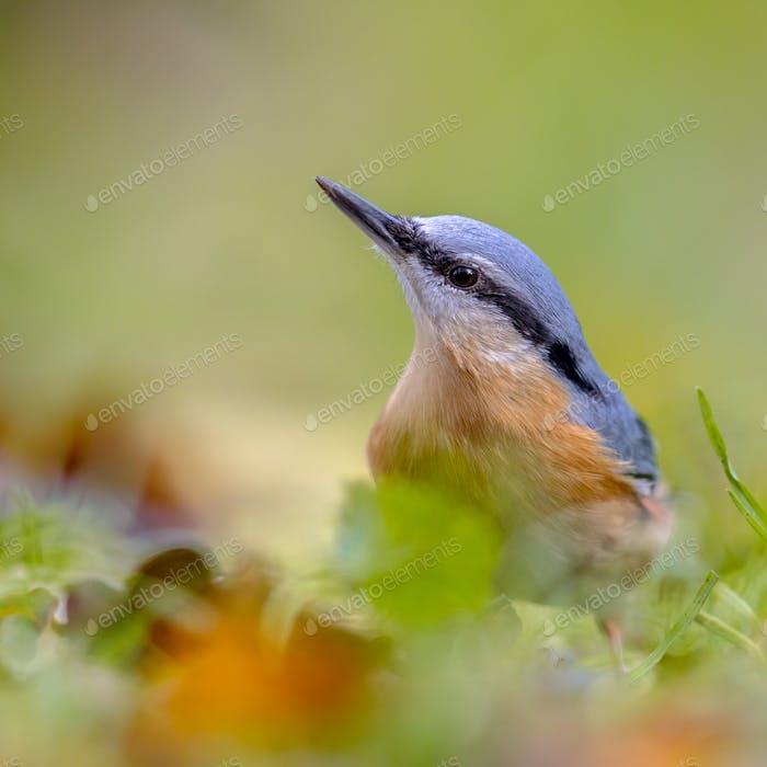 Eurasian Nuthatch autumn colors