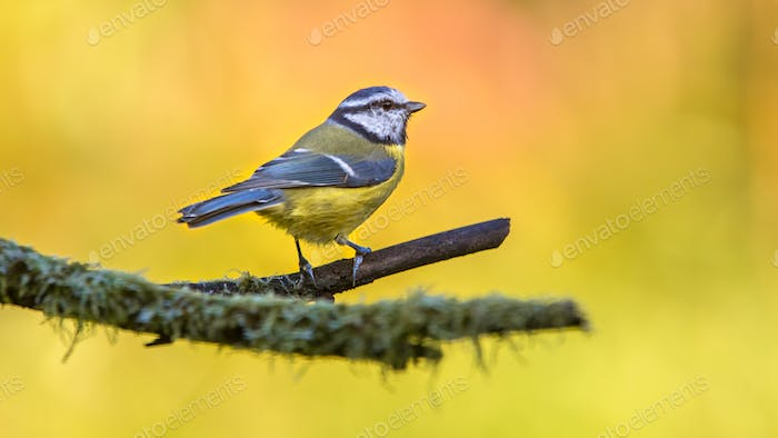 Blue tit with autumn coored background