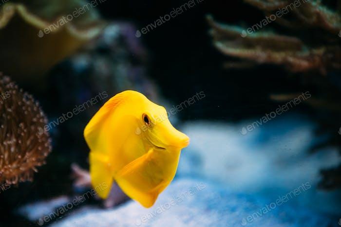 Pomacanthus navarchus Blauer Engel Seefisch im Aquarium