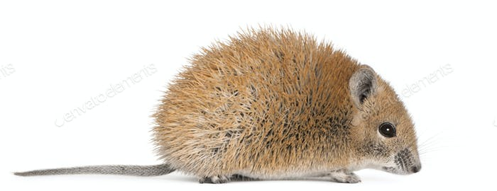 Golden Spiny Mouse, Acomys russatus, 1 year old, in front of white background