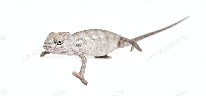 Young veiled chameleon, Chamaeleo calyptratus, standing against white background