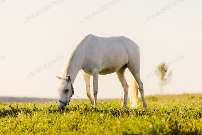 Young white horse eating grass from a field.