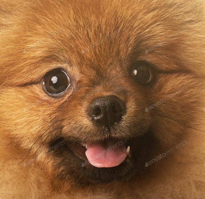 pomeranian dog in studio