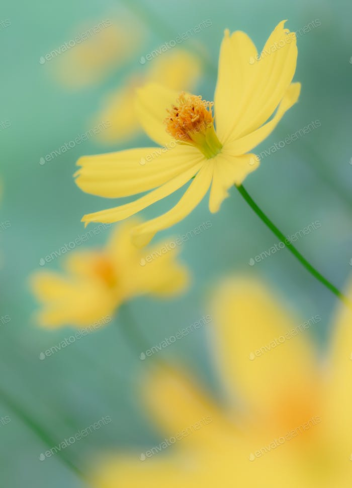 Soft pastel yellow cosmos flower