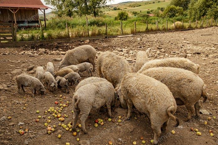 Herd of Mangalica