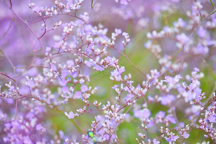 Flowers Limonium platyphyllum. Gentle flower background