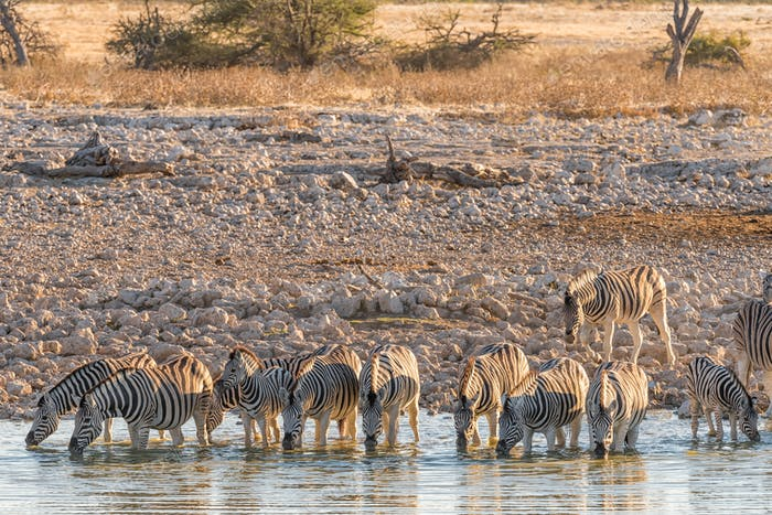 Burchells Zebras drinking water in Northern Namibia at sunset