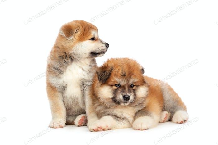 Akita Inu puppy dog on white background