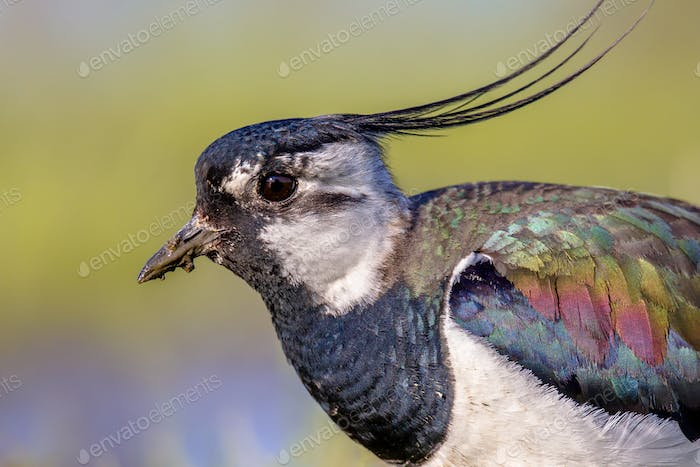 Sideview portrait of Northern lapwing with detailed wing