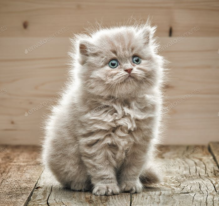 beautiful small kitten