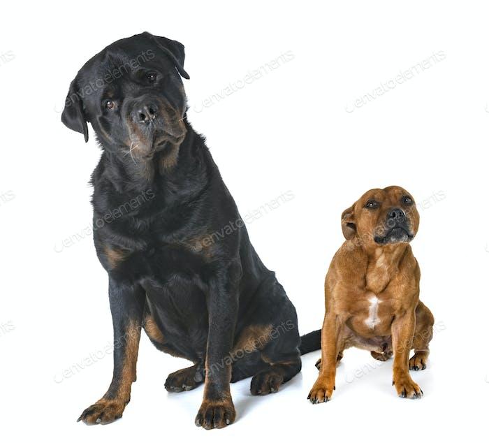 Staffordshire Bullterrier und Rottweiler