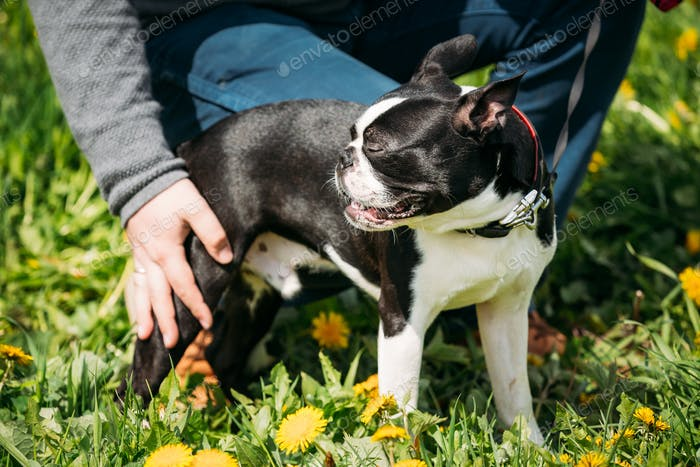 Funny Young Boston Bull Terrier Dog Outdoor In Green Spring Mead