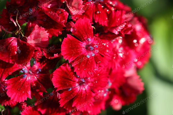 Morning dew on Carnation.