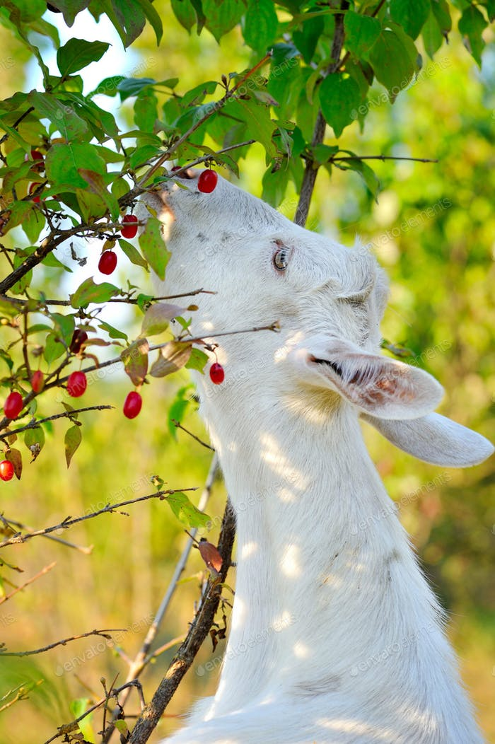 White goat standing on hind legs eating berries dogwood