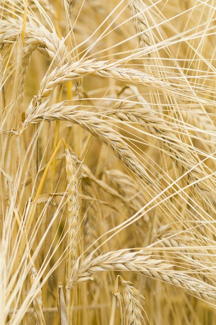 Hordeum distichon, barley, spikes