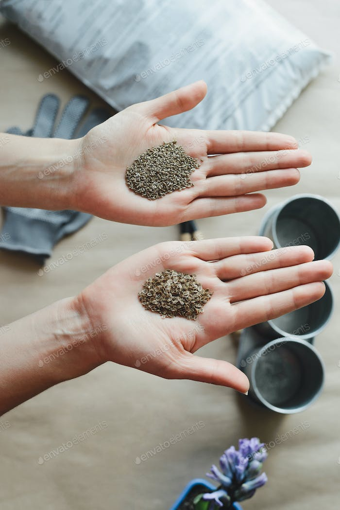 womans hands holds parsley and dill seeds