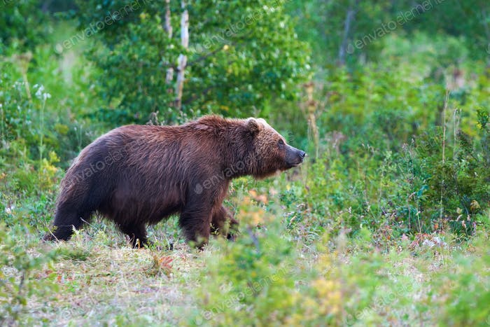 Kamchatka Brown Bear Ursus Arctos Piscator In Natural Habitat, Walks in Summer Forest