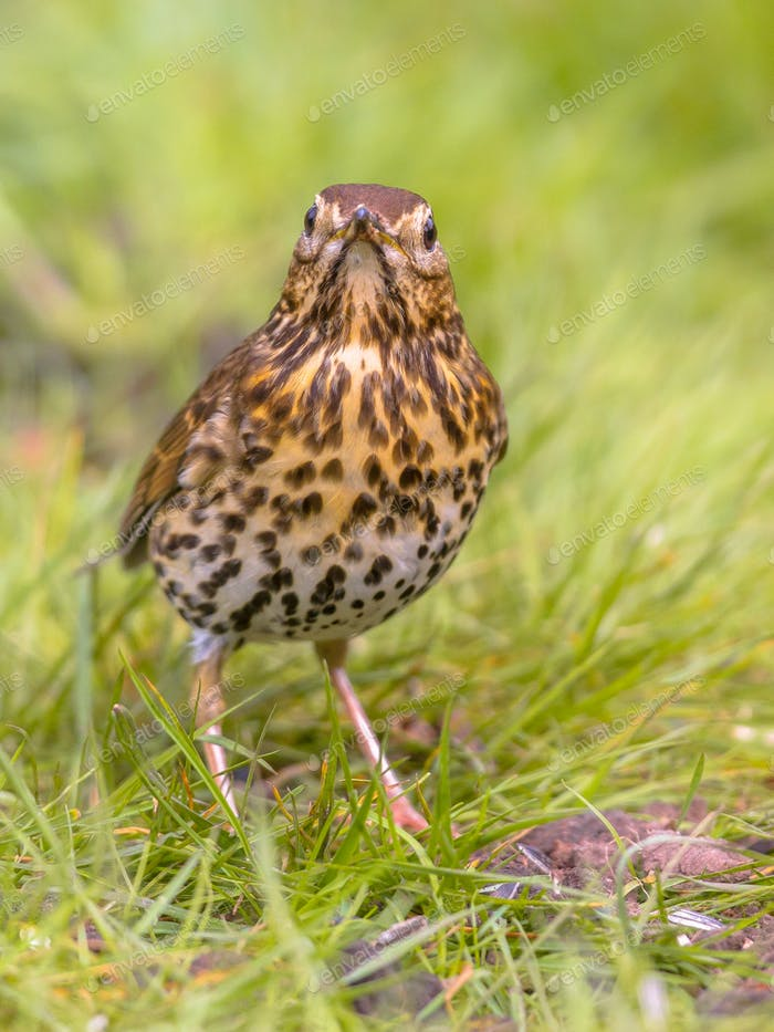 Song Thrush looking at camera with green grass background