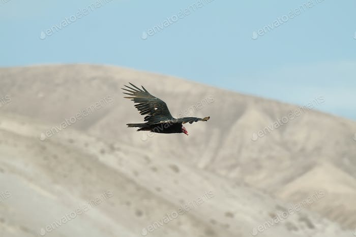 Turkey Vulture in Lluta valley