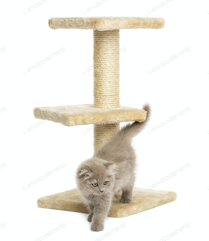 Highland fold kitten on a cat tree, isolated on white