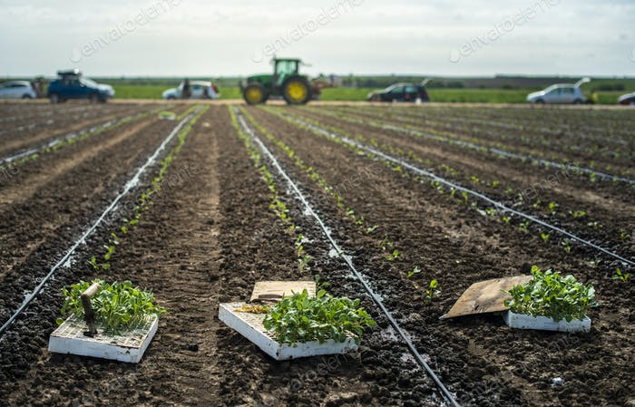 Seedlings in crates on the agriculture land. Planting broccoli i