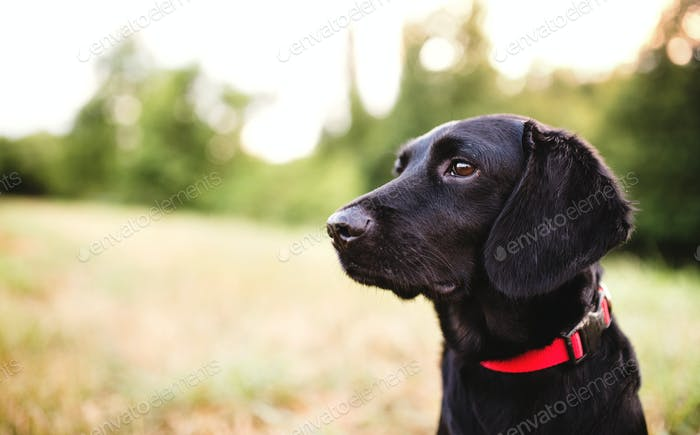 A close-up of a dog outdoors on a meadow at sunset. Copy space.