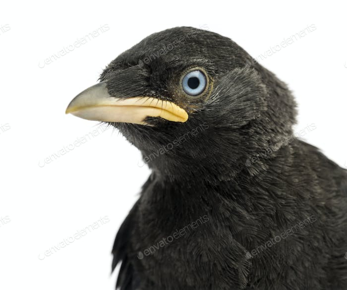 Close up of a Western Jackdaw, Eurasian Jackdaw or European Jackdaw, Corvus monedula, 20 days old